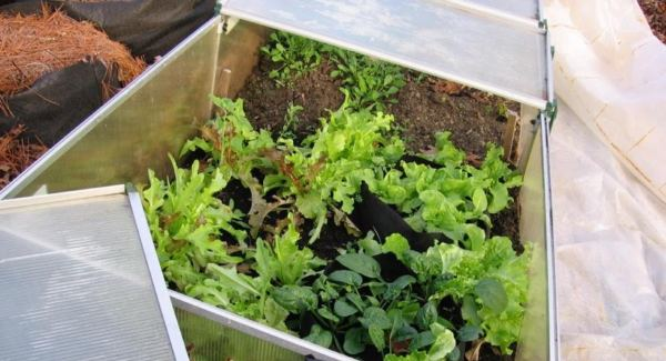 Protected outdoor lettuce plants in October