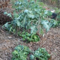 November cole crops - broccoli, kale, etc.