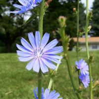 Chicory is closely related to lettuce