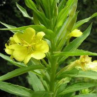Evening Primrose - edible raw in salads or cooked.