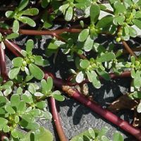 Purslane can be eaten raw or in salads. High in vitamin C