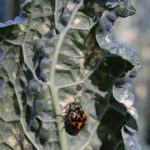 Kale with Murgantia histrionica the Harliquin bug - Photo Credit - David Stillwell