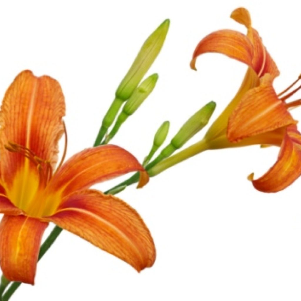 Edible Day Lily adds variety, color, insect attractant and wonderful smells to you market garden and farm stand.