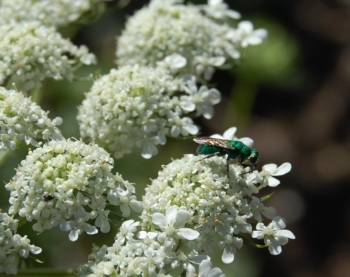 Native Pollinator - blue Cuckoo Wasp