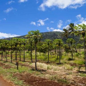Papaya trees in Hawaii. Most papaya in Hawaii is GMO; otherwise, there would be very little.