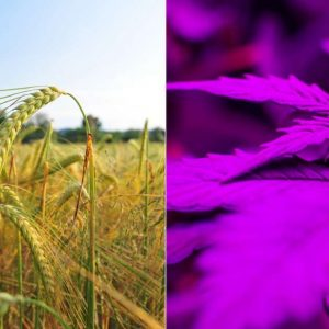 Two plants: Cannabis and Barley have very different growing procedures. In this picture barley is growing in natural sunlight while cannabis grows inside in artificial light