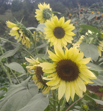 Beautiful, bright yellow, small multi-stem sunflowers.