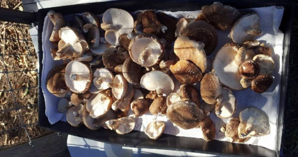 Basket of Fresh Mushrooms Collected in the Morning.