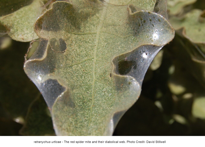 Red spider mites on leaf