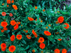 Calendula Cool Season Edible Flower