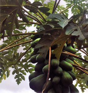 papaya fruit part of South Florida's Warming Climate